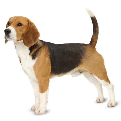 Beagle Dog Price How Much Does They Cost Why In 2020 Beagle