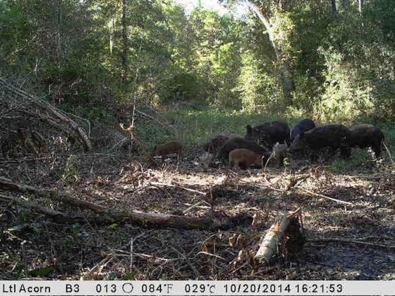 Guided Wild Hog Hunts Breaux Bridge, LA - North Carolina Sportsman Classifieds, NC