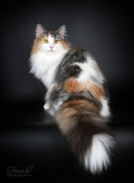 calico long-hair-probably Norwegian Forest cat