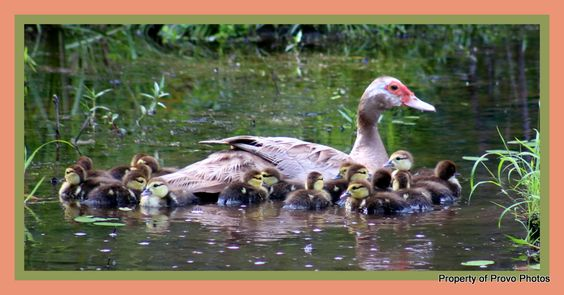 Peaches and her brood, July 2016