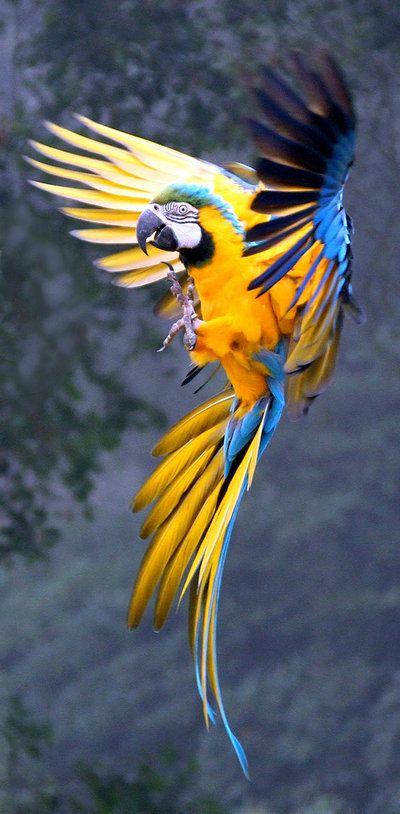 Ara jaune et bleu. ARA ARARAUNA. Le dessus de son plumage est turquoise et le ventre est jaune doré. Sa calotte est bleu vert. Les yeux, le bec et les pattes sont noirs   #parrots: