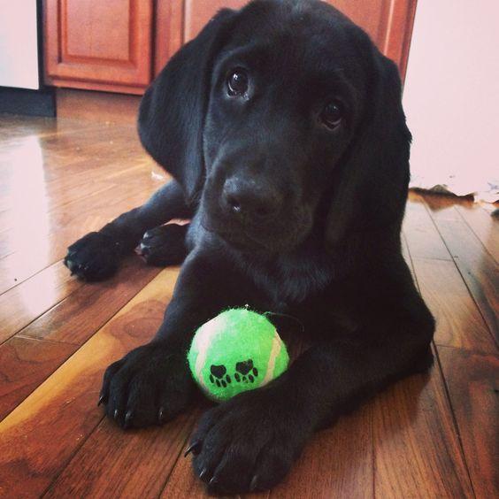 Black lab hound mix puppy Animals ♡ Pinterest Puppys