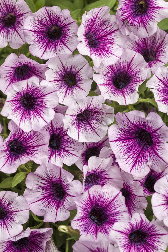 Supertunia Mulberry Charm Petunia Hybrid Petunias Petunia Plant Container Flowers