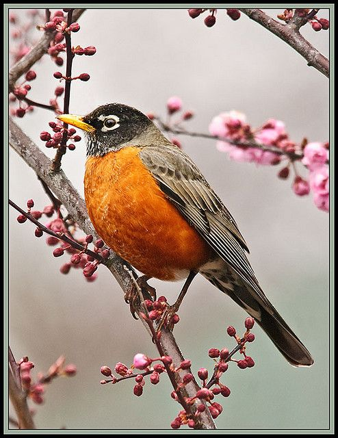 American Robin - yes, one of our most commons birds, but if you live in the part of North America that has seasons - most of it that is - a welcome and cheery harbinger of Spring.