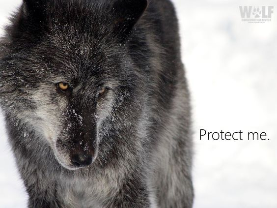 "NY Wolf Center on Twitter: ""Unethical helicopter wolf gunning underway in northeast B.C. - https://t.co/7Q7HSmb86n #StandForWolves https://t.co/CiRB7yXtSz"""