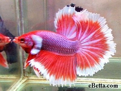 Betta betta fish and fish on pinterest for Cute betta fish