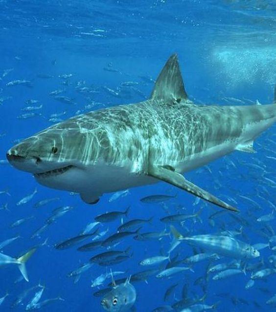 Photo : requin blanc dans le milieu naturel, le plus grand individu jamais pêché mesurait 6,40 mètres et pesait 3220 kilos