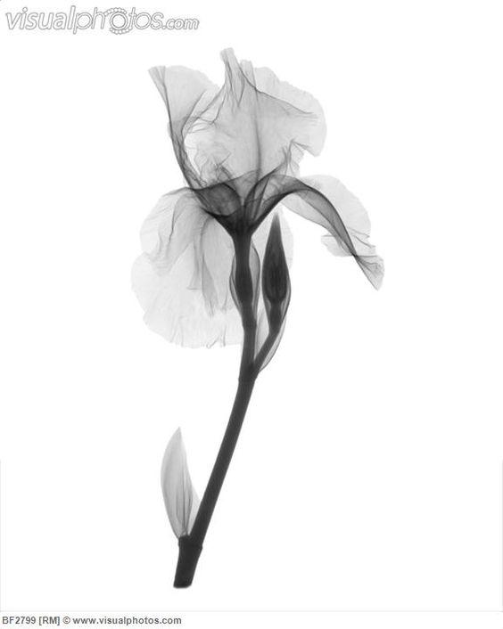 An X-ray of an iris flower
