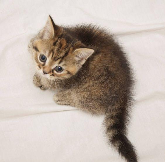 tabby munchkin kitten
