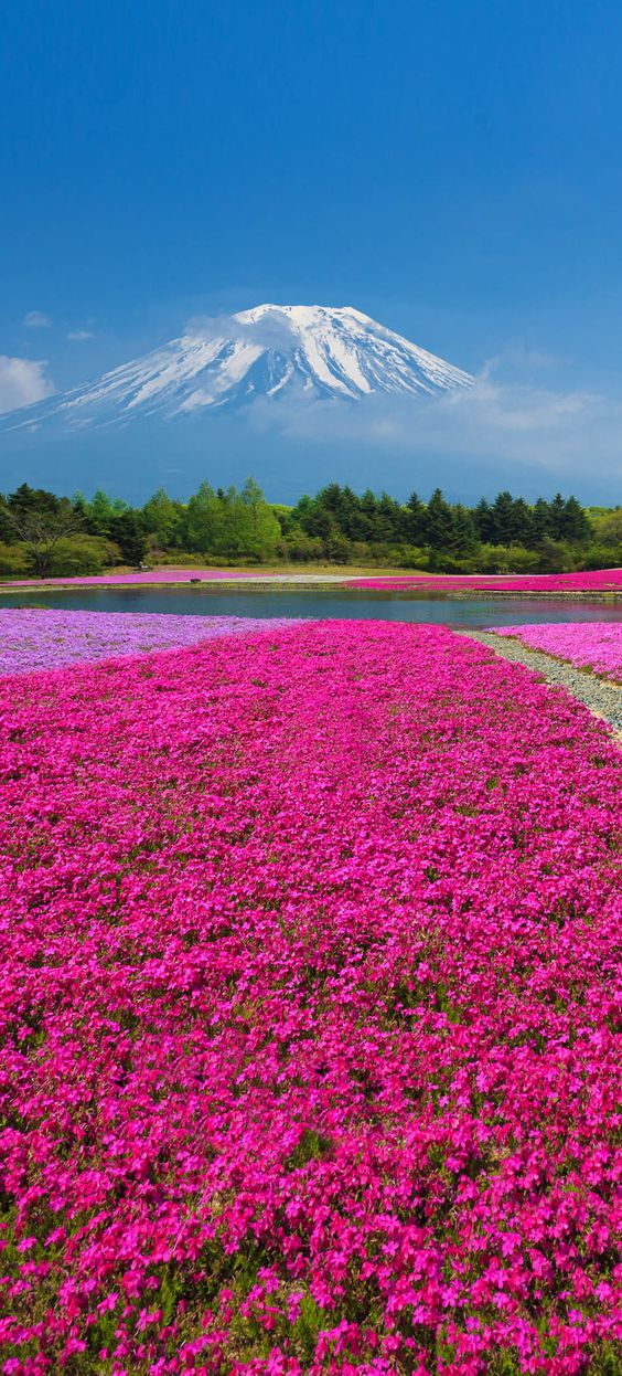 Mount Fuji with the field of pink moss at Shibazakura festival, Yamanashi, Japan | 10 Reasons to Love Japan, an Unforgettable Travel Destination