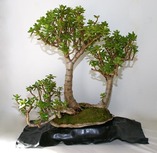 Crassula spec, Geldbaum, Bonsai
