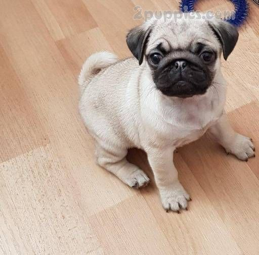 Find Your Dream Puppy Of The Right Dog Breed At Pug Puppies For