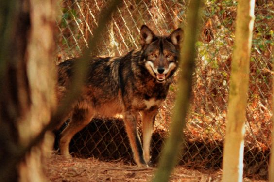 Red wolf 1111 in 2003. He is very dark, showing some of the characteristics of melanism, the black phase. A beauty! By Chris Crowe.