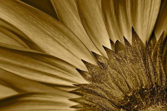 Sepia Daisy by Robert Harmon!!!