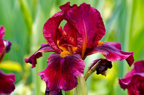 Red bearded iris