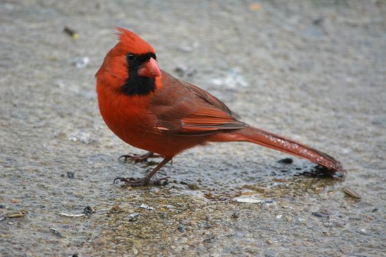 Lovely cardinal in Virginia, its the state bird, with bird seed in his mouth!