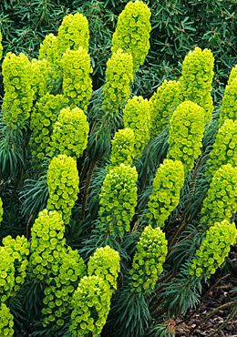 Euphorbia characias subsp. wulfenii (Spurge) Perennial 4' ht., sun to part sun, may reseed but they are easily pulled out, deer-resistant, low water requirements.