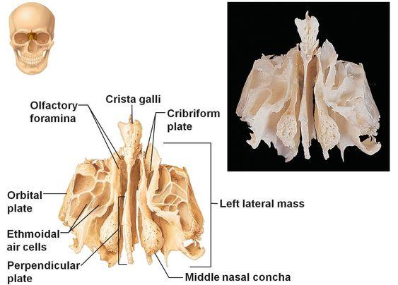ethmoid bone – gothing, Cephalic Vein