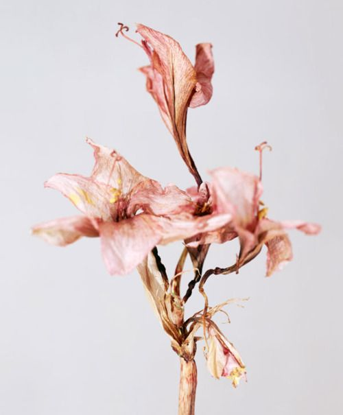 plant life, pink, flower, dried flowers, art