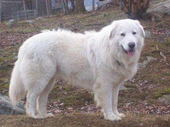 Abruzzenhund