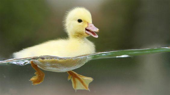 Duckling!: