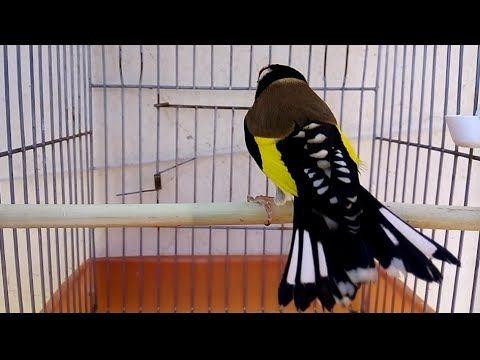مقنين وحش قوة كبيرة ما شاء الله يوسف مزيان أم البواقي Youtube Beautiful Birds Birds Bird