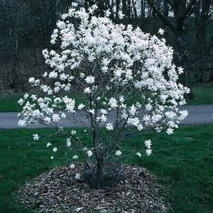 Magnolia stellata 39 royal star 39 early spring blooming - Magnolia cuidados ...