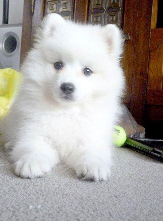 Japanese Spitz Samoyed Dogs Spitz Puppy Japanese Spitz Puppy