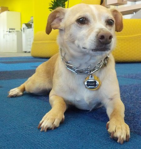 Jack Chi Dog Breed Information and Pictures, Chihuahua / Jack Russell Terrier Hybrid Dogs