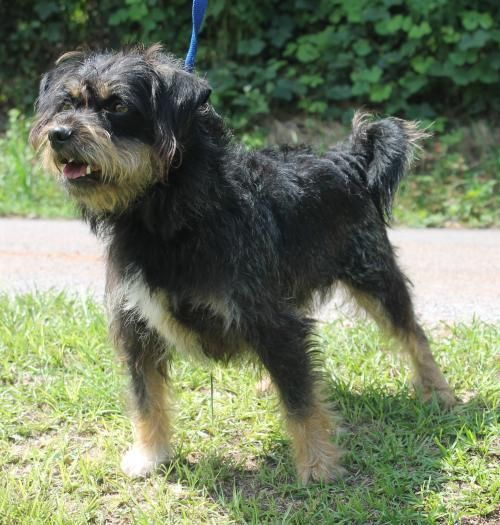 Meet Rigby 18918, a Petfinder adoptable Terrier Dog | Prattville, AL | Rigby is a 2-year-old male Terrier mix who has already been neutered. His coat is black with brown...