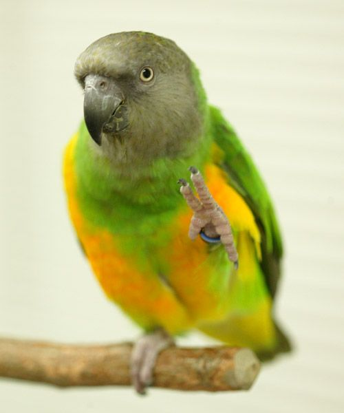 """i used to have a senegal parrot...i miss his little voice calling me """"zookeeper"""" haha"""