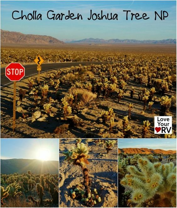 Our Second Visit To Joshua Tree National Park Cholla Cactus Garden Gardens Trips And Parks