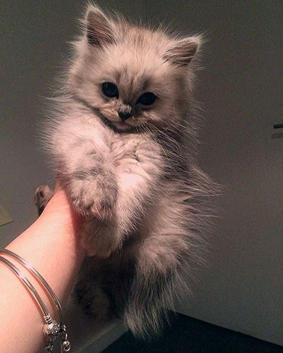 Pin By Ginamarie Pereira On Beautiful Kitties Cutest Animals On Earth