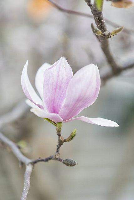 Magnolia Solo | Magnolia's in Toronto this May. | Warren Bodnaruk | Flickr