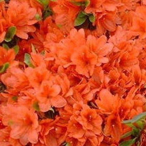 Azalea Orange Beauty Scotplants Direct Azaleas Azalea Bush Orange Flowers