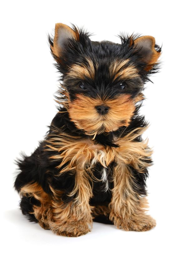 Yorkshire Terrier Puppy The Age Of 1 Month Isolated On White Yorkshireterri In 2020 Miniature Yorkshire Terrier Yorkshire Terrier Puppies Yorkshire Terrier