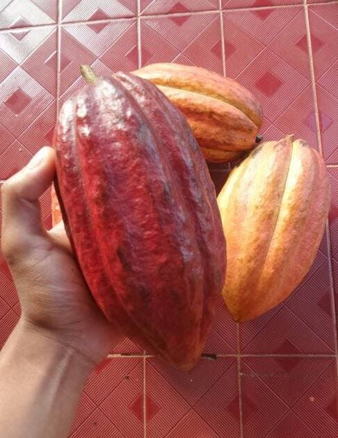 Download Gambar Coklat Jual Buah Coklat Buah Kakao Fresh 1 Kilo Gram Kab Sumedang Kampoeng Herbal S Tokopedia Tips Menyimpan Coklat Coklat Buah Kacang Mete
