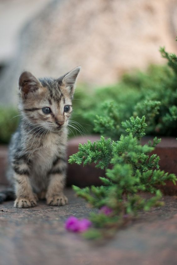 how to get rid of fleas on kittens