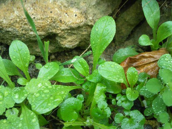 Cuisine plantes sauvages comestibles 28 images la - Cuisine plantes sauvages ...