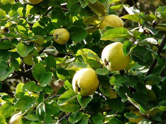#Membrillo: un #árbol #resistente a la sequía y con el que podemos hacer membrillo #dulce.