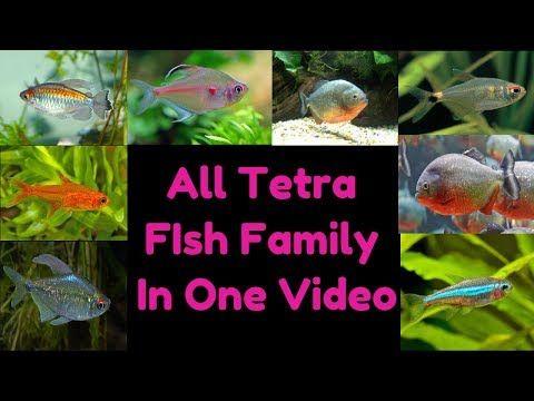 Types Of Tetra Fish Youtube Tetra Fish Fish Tetra