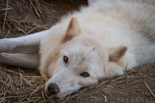 elegantwolves:  byFreagull