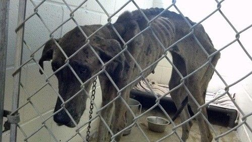 """Elaine S. Williams~What she did to her dogs."""" When  the dogs were rescued, they were chained to a tree without any food or water. Amazingly, despite the severe neglect which both dogs survived, they are doing well. The Great dane renamed    """"Traci,"""" is holding her own. She's eating & holding it down. She is still on an IV.  Kaylee is hanging on.  DONATE  at this link to the Sikeston Area Humane Society. http://sikestonpets.org/donate.htm   573 471-4801 for info PLEASE DONATE EVEN $1. IT ADDS…"""