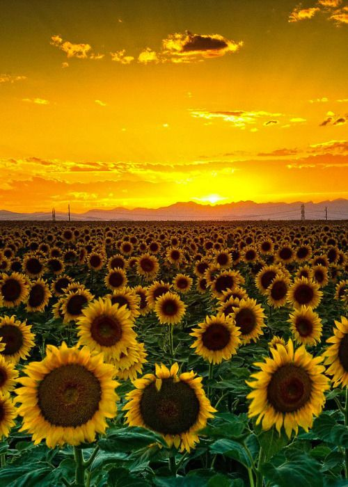Coiour My World Field Of Sunflowers Photo John De Bord