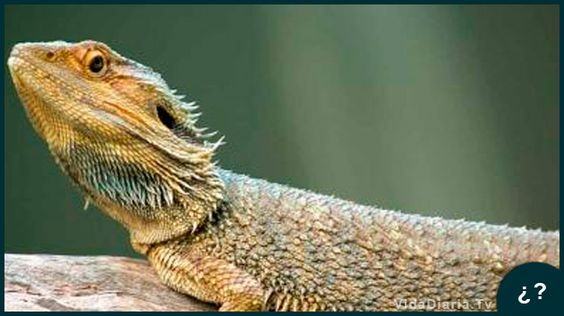 Los dragones barbudos cambian de sexo por el calor