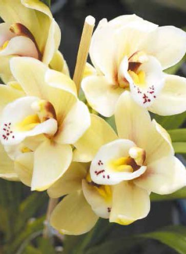"Gelbe Orchideenblüten aus Catherine Vadon: ""Mythos Orchideen"""
