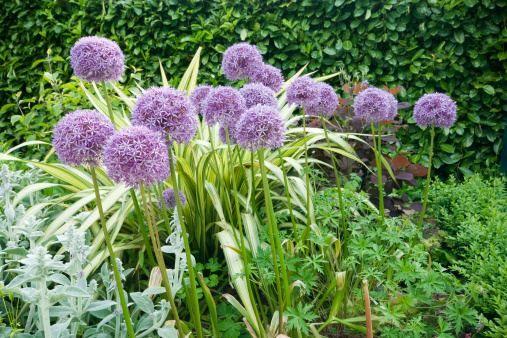 Come utilizzare l'aglio contro i parassiti del giardino