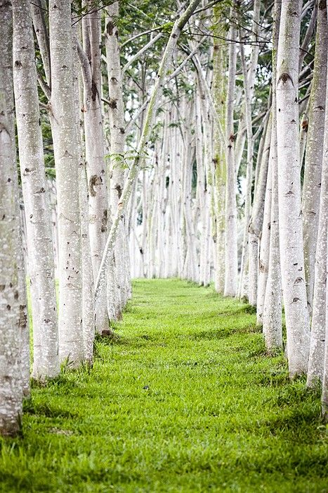 path in the birch - photo #8