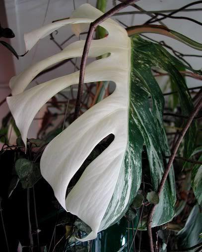 variegated monstera deliciosa split leaf philodendron. Black Bedroom Furniture Sets. Home Design Ideas