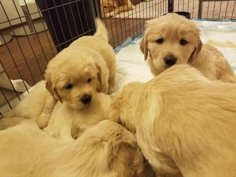 Litter Of 5 Golden Retriever Puppies For Sale In Spotsylvania Va